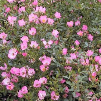 Bunddækkende roser beskæring