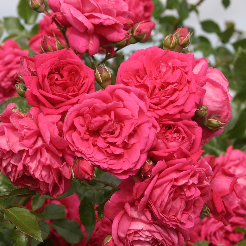 Непрерывно цветущие плетистые розы 6