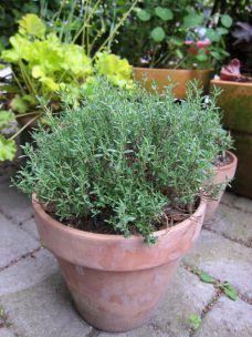 timian plante