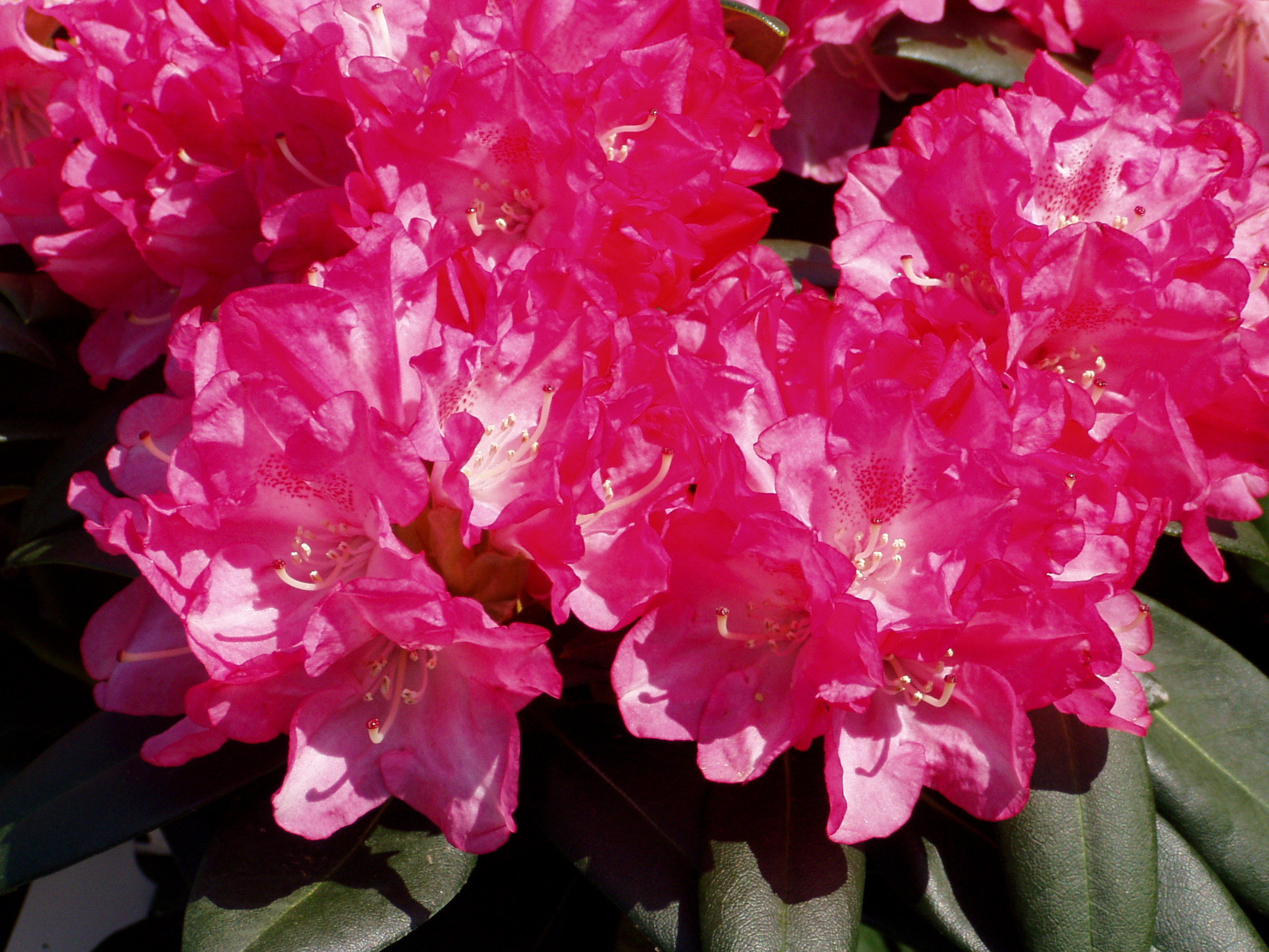 Rhododendron home and garden for Plante 60 80